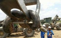 Xuất hiện con trăn khổng lồ dài gần 10m, nặng nửa tấn