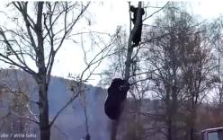 Video: Gấu khổng lồ leo tận cây truy đuổi người