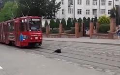 Tàu điện dừng chờ chú chó nằm trên đường ray