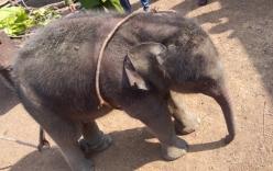 Mất hai tiếng để cứu voi 2 tháng tuổi rơi xuống giếng
