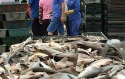 Hàng trăm con cá mập quý bán đổ đống với giá cực bèo ở Trung Quốc