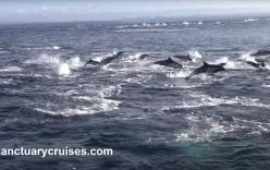 Video: 1.000 con cá heo lồng lên khỏi mặt nước, chạy trốn kẻ thù