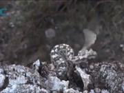 Rắn hổ lục dùng tuyệt chiêu nhử chim