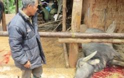 Lào Cai: Một đàn trâu bị sét đánh chết trong đêm
