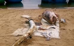 Cá chết hàng loạt ven biển miền Trung: Chiều nay công bố nguyên nhân