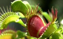 Cận cảnh loài cây bẫy và nuốt chửng côn trùng