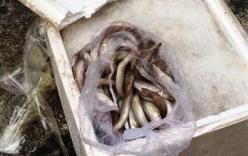 Xe khách giường nằm chở 500 kg cá chết từ Quảng Trị vào TP.HCM tiêu thụ