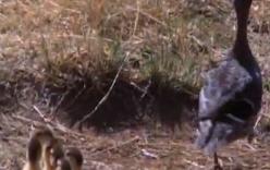 Vịt mẹ thông minh, đánh lạc hướng linh cẩu để cứu đàn con