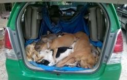 Cẩu tặc thuê taxi chở chó trộm được đi bán