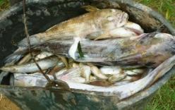 Thanh Hóa: Cá sông bất ngờ chết hàng loạt, nước sông chuyển màu xanh đục