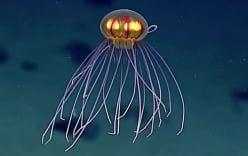 Loài sứa có thân hình kỳ lạ như UFO