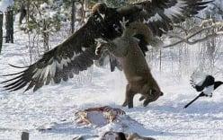 Clip: Sát thủ hoang mạc lao bổ xuống mặt đất, tóm gọn chó sói trong chớp mắt