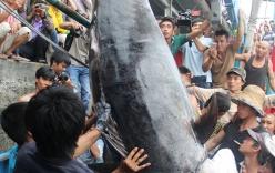 Ngư dân Khánh Hòa bắt được cá ngừ vây xanh cực hiếm, nặng 300kg