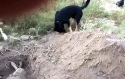 Video: Rơi nước mắt cảnh chú chó chôn bạn thân