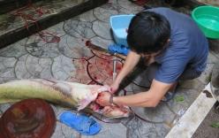 Đại gia chi gần 30 triệu đồng xẻ thịt cá lăng sông Đà đãi khách