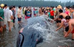 Dùng xe cần cẩu giải cứu cá voi khổng lồ nặng 15 tấn mắc cạn ở Nghệ An