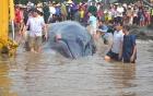 Vì sao cá voi liên tiếp dạt vào bờ ở Nghệ An?