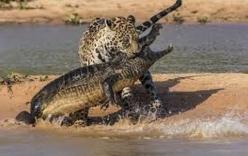 Video: Báo đốm quyết không tha mạng cá sấu, liều lĩnh lôi cổ đối thủ lên bờ