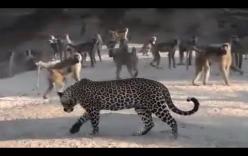 """Video: """"Thân cô thế cô"""", báo đốm bị 40 con khỉ uy hiếp hội đồng, đuổi chạy xé gió"""