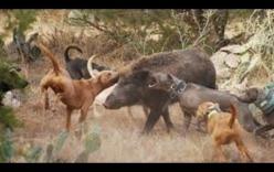 Video: Bầy chó Pitbull dàn trận đưa lợn rừng khổng lồ vào bẫy