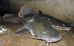 Video: Cận cảnh hai con cá lăng khổng lồ do ngư dân câu được trên sông Sêrêpôk