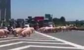 Video: CSGT giúp dân lùa hàng trăm con lợn