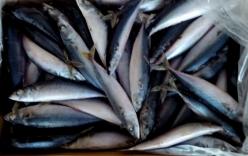 Phát hiện chất cực độc trong cá nục đông lạnh ở Quảng Trị