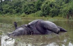 Từ chối giao phối, tê giác cái bị húc chết