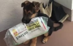 Cận cảnh chú chó Đức đi lấy báo vào buổi sáng