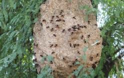 Cụ ông lặn xuống ao trốn sự bao vây của đàn ong vò vẽ