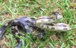 Video: Rắn chuột lồng lên tấn công khi bị người phụ nữ quấy rầy