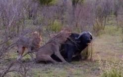 Video: Trâu rừng bị bầy sư tử đực cắn xé tới chết