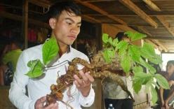 Quảng Nam: Dân đào được sâm ngọc linh tuổi đời hơn 100 năm