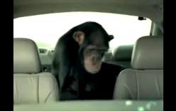 Video: Chú khỉ hạ gục tên trộm ô tô trong nháy mắt