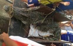 Hà Nội: Đi kích điện, bắt được cá sấu dài 3m, nặng 73 kg