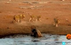 Tê giác đơn độc quyết chiến lại 3 con sư sử thoát thân ngoạn mục
