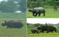 Hãi hùng tê giác làm náo loạn khu dân cư
