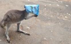 Video: Hành động đáng yêu của chú kangaroo khi bị túi giấy trùm kín đầu