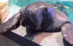 Cận cảnh chú lợn biển già nhất thế giới