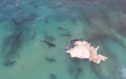 Video: 40 con cá mập khổng lồ điên cuồng cắn xé xác cá voi