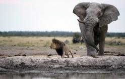 Voi mẹ lạc con tấn công sư tử, cứu trâu rừng thoát chết