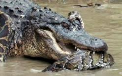 Trăn khổng lồ đánh nhau với cá sấu đầm lầy