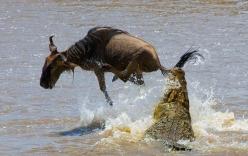Hà mã đánh nhau với cá sấu cứu linh dương