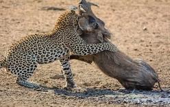 Lợn rừng đơn độc đánh nhau với 2 con báo đốm