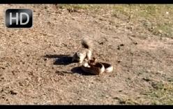 Trận đối đầu giữa sóc và rắn