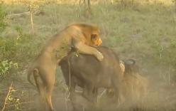 Bầy sư tử hạ gục trâu rừng trong nháy mắt
