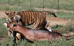 Hổ đánh nhau với linh dương