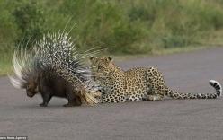 Nhím thoát chết ngoạn mục trước sự tấn công của sư tử