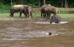 Cảm kích chú voi lao xuống dòng nước xiết cứu chủ