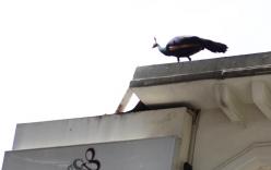 Người dân Sài Gòn leo lên mái nhà vây bắt chim khổng tước quý hiểm